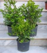 Πυξάρι, Τσιμισίρι (Buxus Buxaceae)