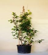 Ρυγχόσπερμο(Trachelospermum)