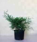 Γιουνίπερους Πλαγιόκλαδο-Juniperus